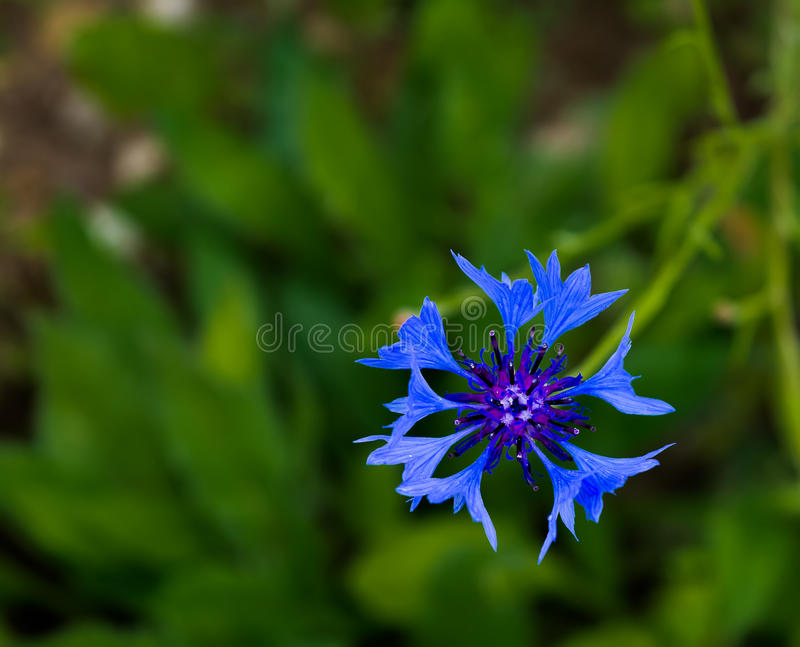 Centaurea cyanus. Beautiful meadow flower. royalty free stock photo