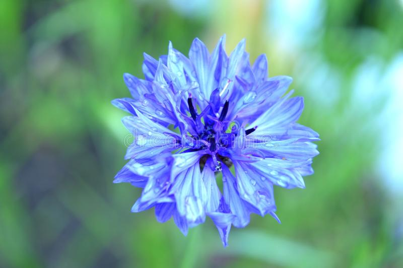 Cornflower. In the summer garden royalty free stock images