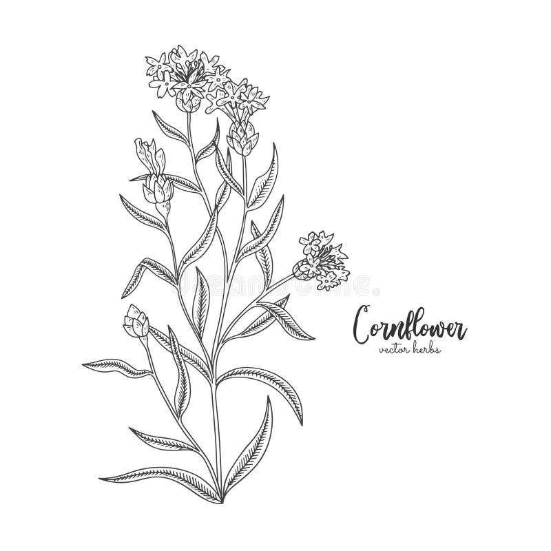 cornflower Wilde die gebiedsbloem op witte achtergrond wordt geïsoleerd Het helen en schoonheidsmiddelenkruid Medische installati stock illustratie