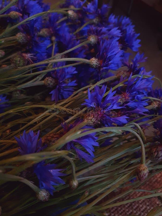 Cornflower stock image