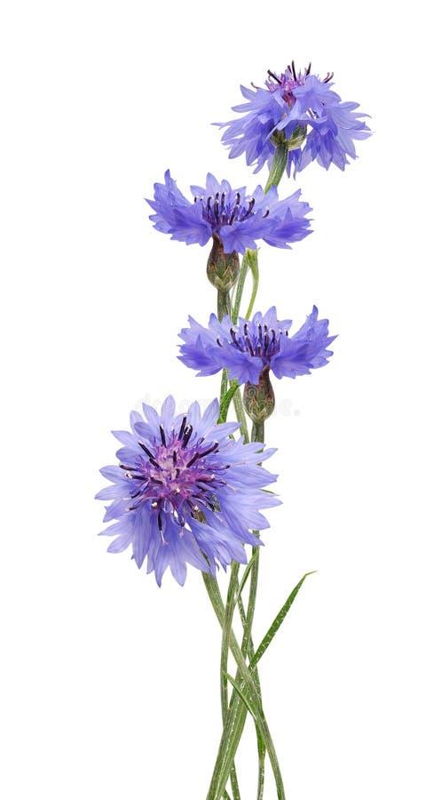cornflowers στοκ εικόνα