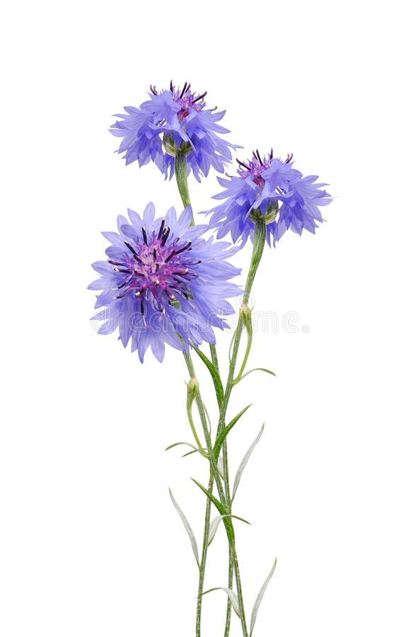 cornflowers στοκ εικόνες