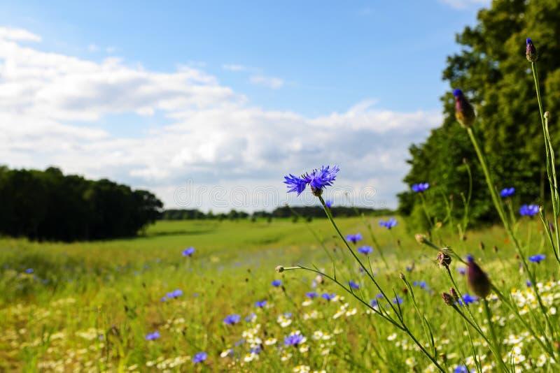 Cornflowers σε ένα ευρύ αγροτικό τοπίο με τα ανθίζοντας λιβάδια, λεωφορείο στοκ φωτογραφία