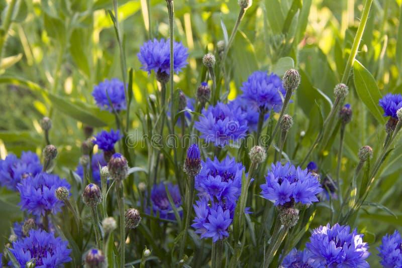 Cornflowers для сада стоковая фотография