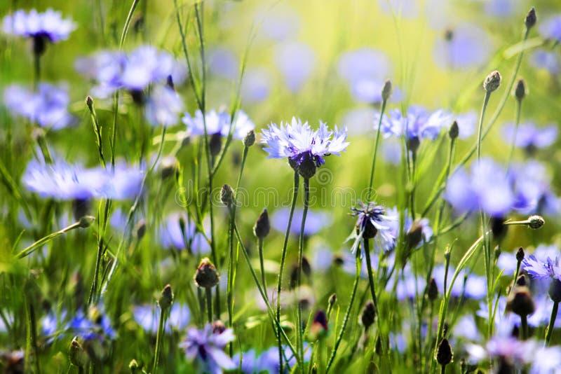 Cornflowers fotografía de archivo