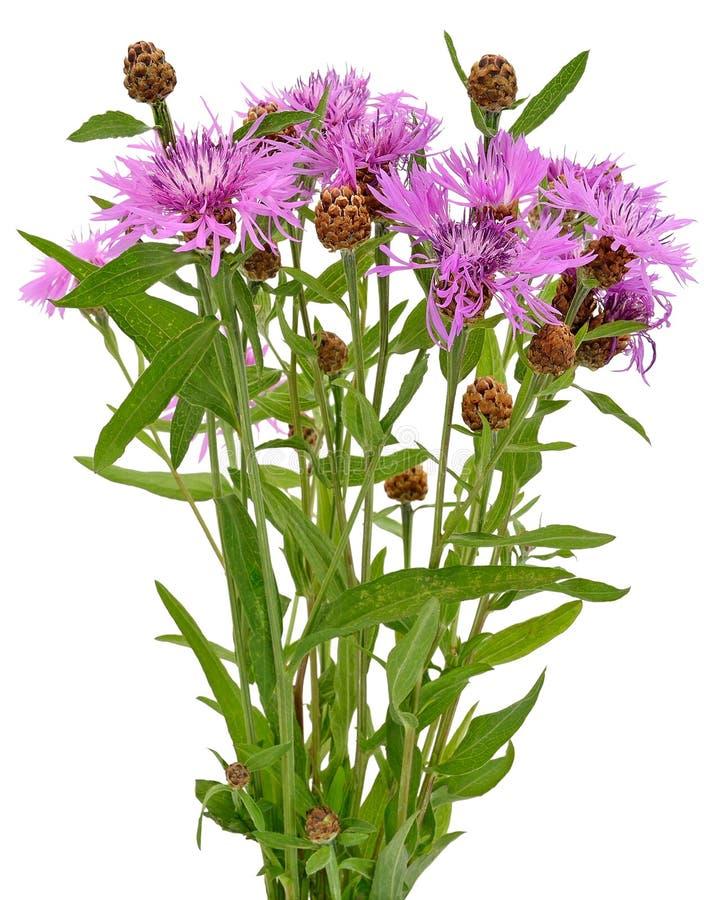Cornflowers fotos de stock