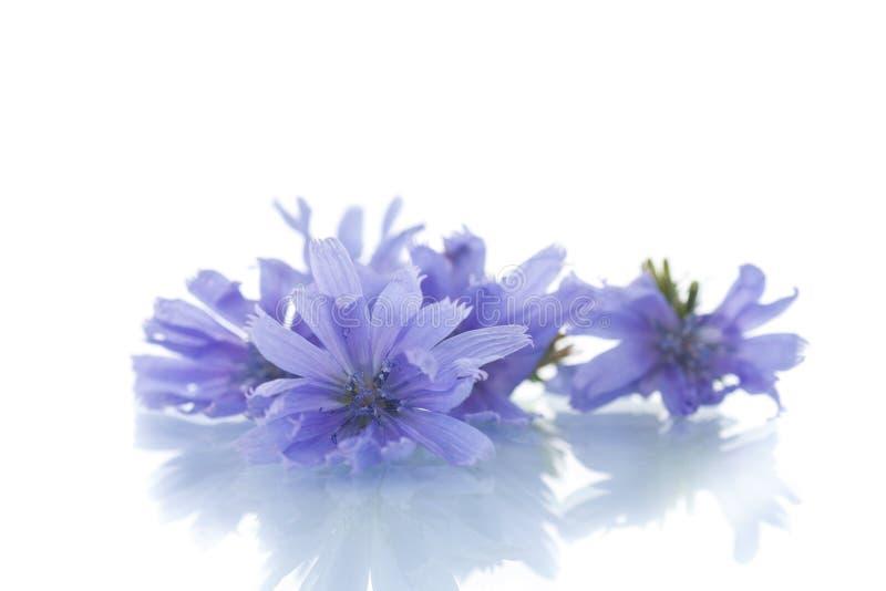 cornflowers στοκ εικόνα με δικαίωμα ελεύθερης χρήσης