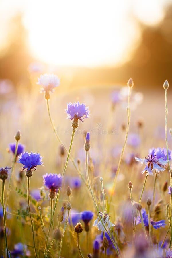 cornflowers imagen de archivo