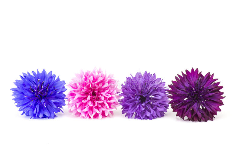 cornflowers fotografia stock