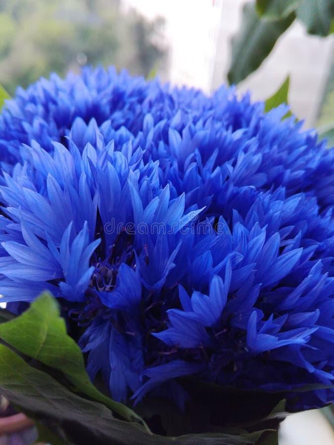 cornflowers στοκ φωτογραφίες με δικαίωμα ελεύθερης χρήσης