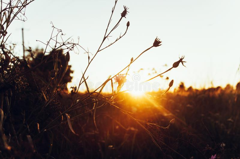 cornflowers in beautiful sun light in the evening in summer field. sunset rays. atmospheric moment. warm image. atmospheric royalty free stock photos