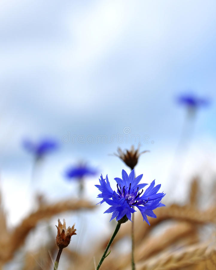 Cornflowers (Centaurea cyanus) stockbilder