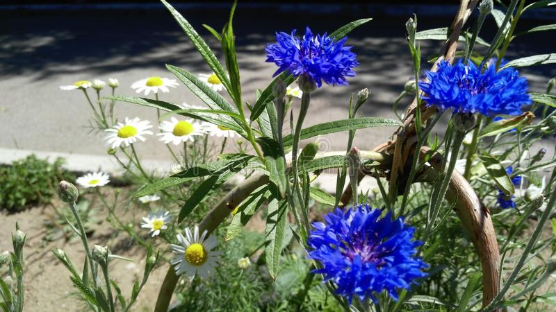 Cornflowers and chamomile in one flowerbed royalty free stock photo