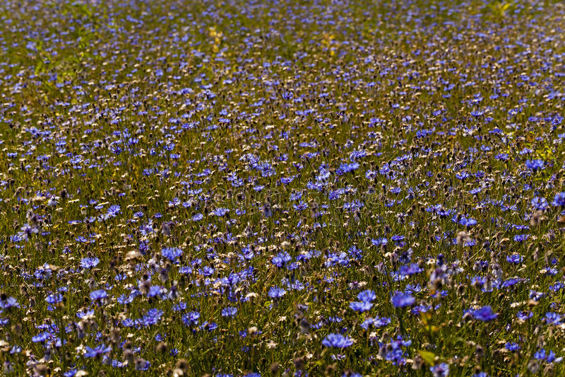 Cornflowers. A field on which blue cornflowers grow. summertime of year stock photo