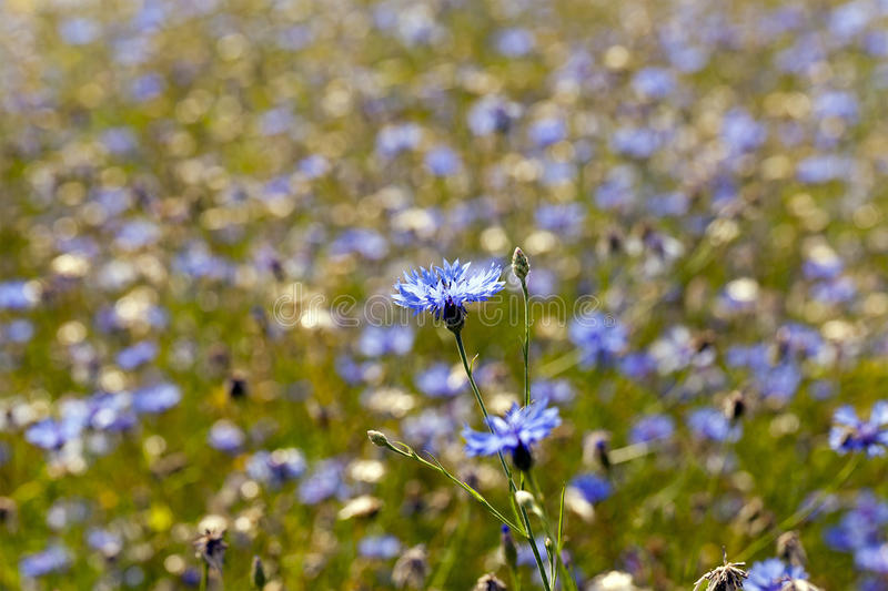 Cornflowers. A field on which blue cornflowers grow. summertime of year royalty free stock photos