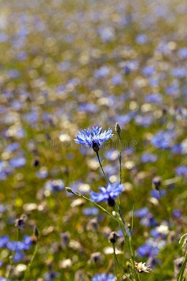 Cornflowers. A field on which blue cornflowers grow. summertime of year stock images