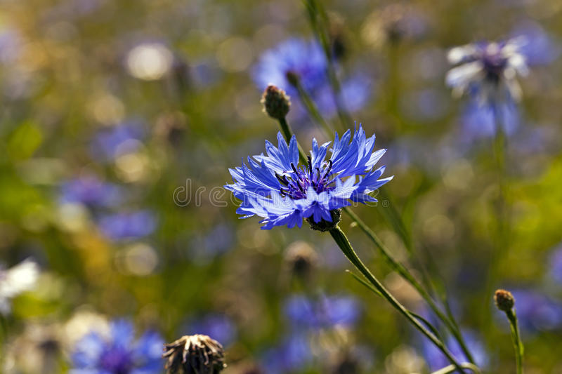 Cornflowers. A field on which blue cornflowers grow. summertime of year royalty free stock photo