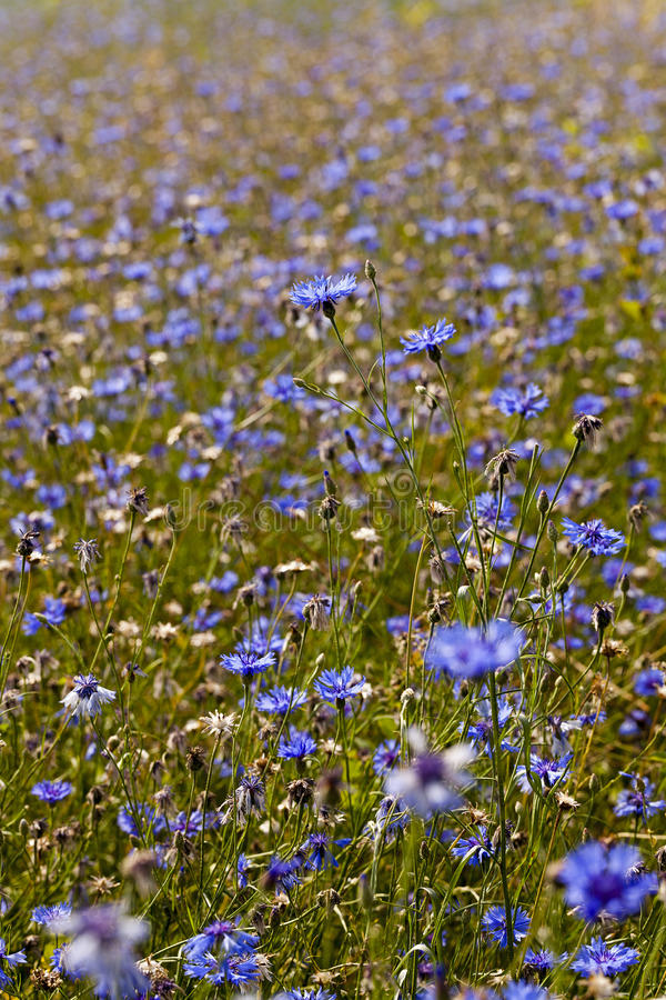 Cornflowers. A field on which blue cornflowers grow. summertime of year stock photos