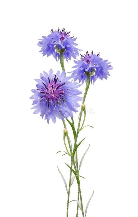 cornflowers imagenes de archivo