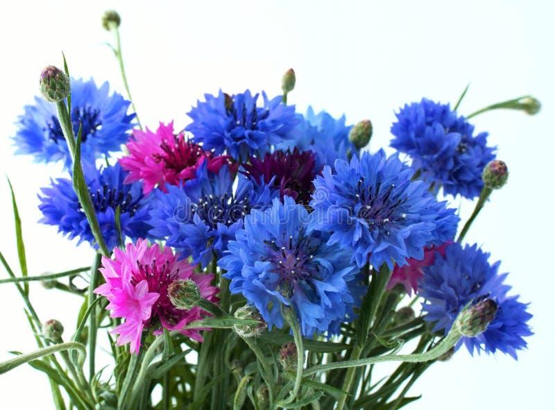 cornflowers kwiaty zdjęcia royalty free