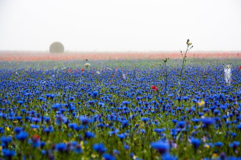 Cornflowers, maczki i mgła, fotografia stock