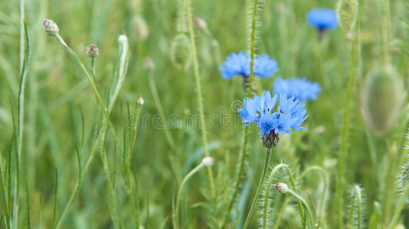 Cornflowers in the meadow royalty free stock images