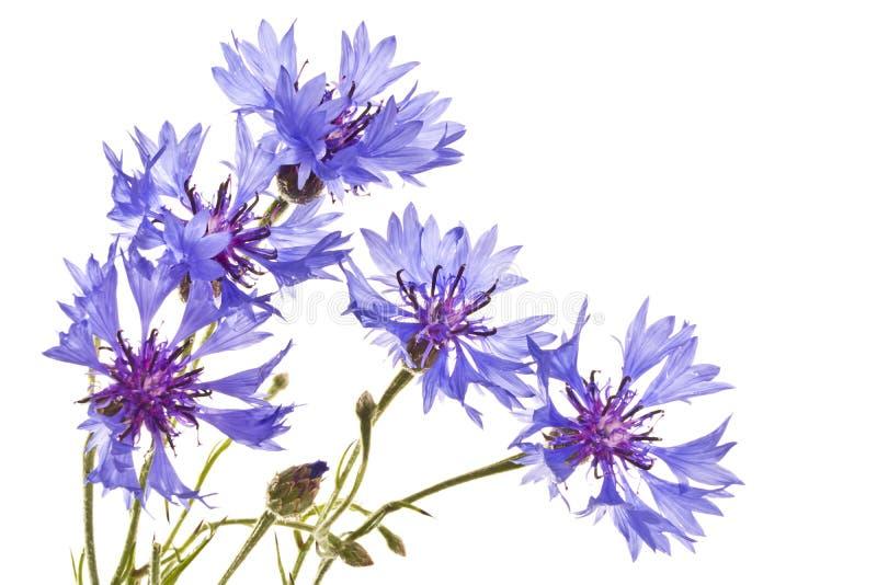 Cornflowers na białym tle fotografia stock