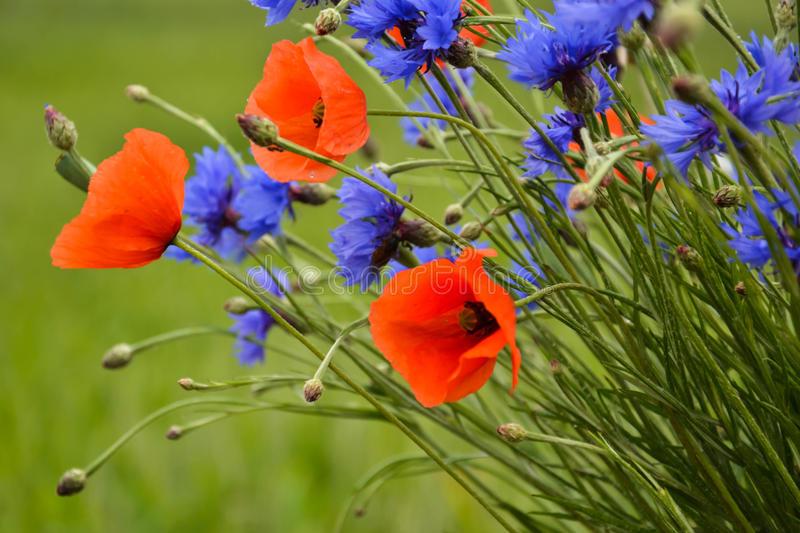 Cornflowers and poppies standing out stock images