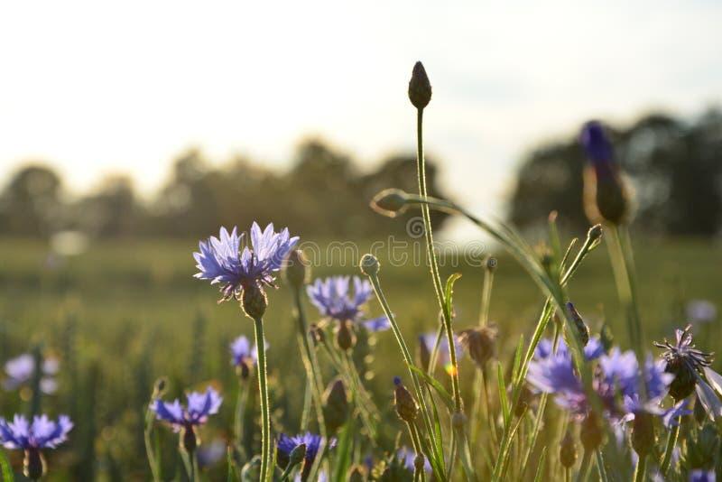 Cornflowers w łące obraz royalty free