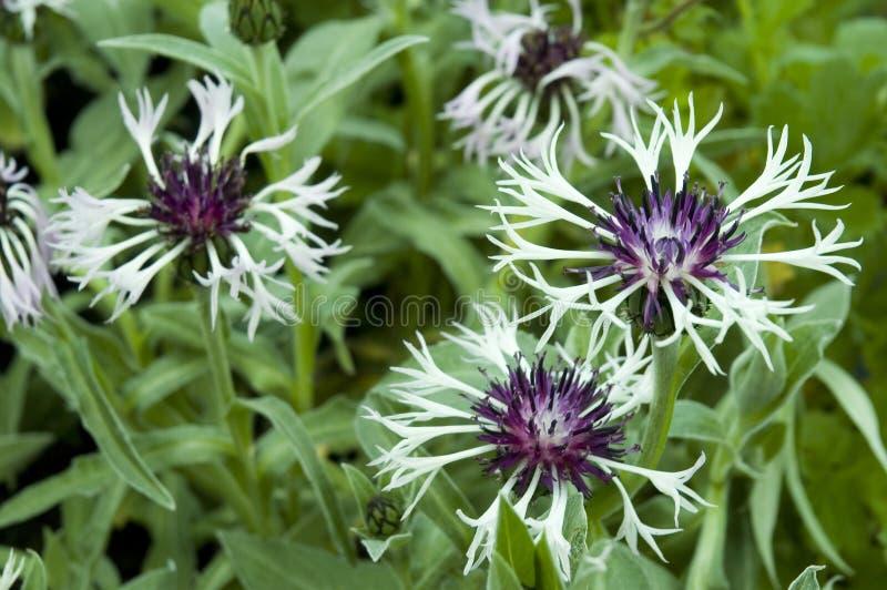 Cornflowers z białymi promieni florets obraz royalty free