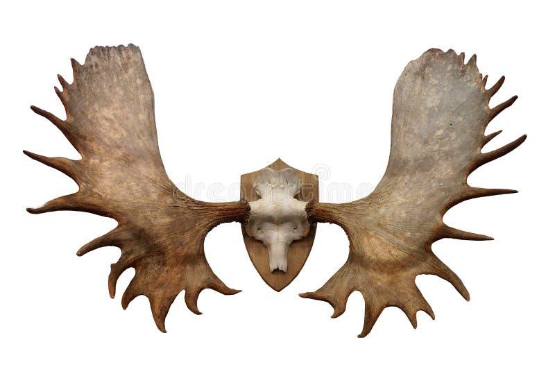 Corni degli alci siberiani del nord fotografie stock libere da diritti
