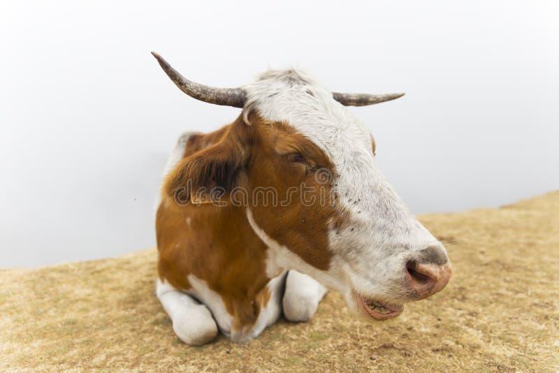Corni del pascolo della mucca fotografia stock