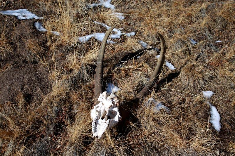 Corni dello stambecco (capra selvaggia) fotografie stock