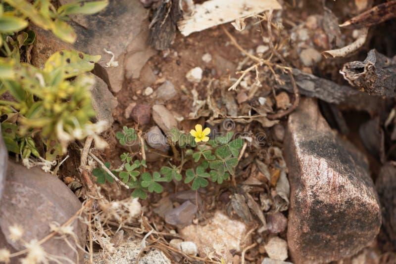 Corniculata de Oxalis do woodsorrel do rastejamento em uma carcaça de pedra foto de stock