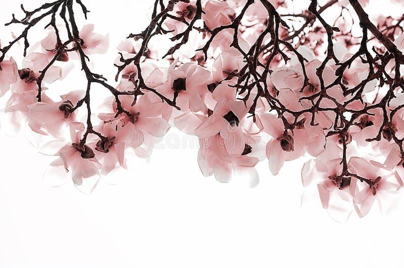 Corniolo rosa fotografie stock
