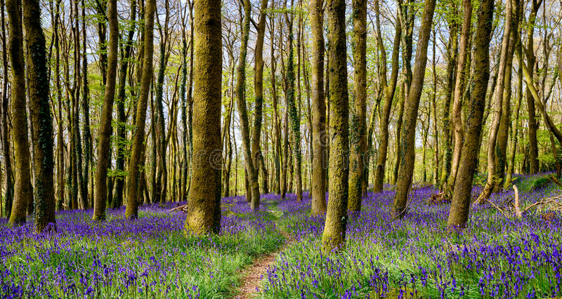 Cornish Bluebell Woods. Beautiful spring bluebell woods near Redruth in Cornwall royalty free stock photos