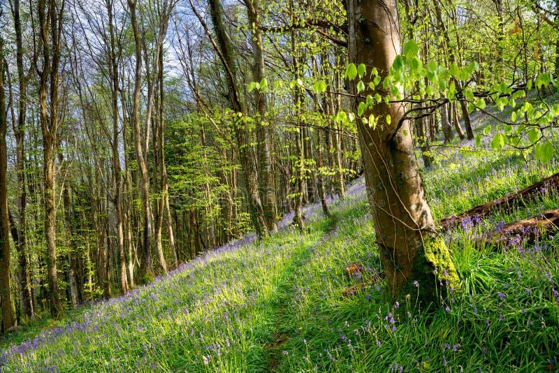 Cornish Bluebells στοκ φωτογραφία με δικαίωμα ελεύθερης χρήσης