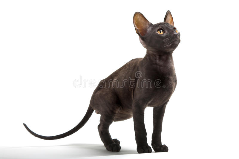 cornish rex royaltyfria foton
