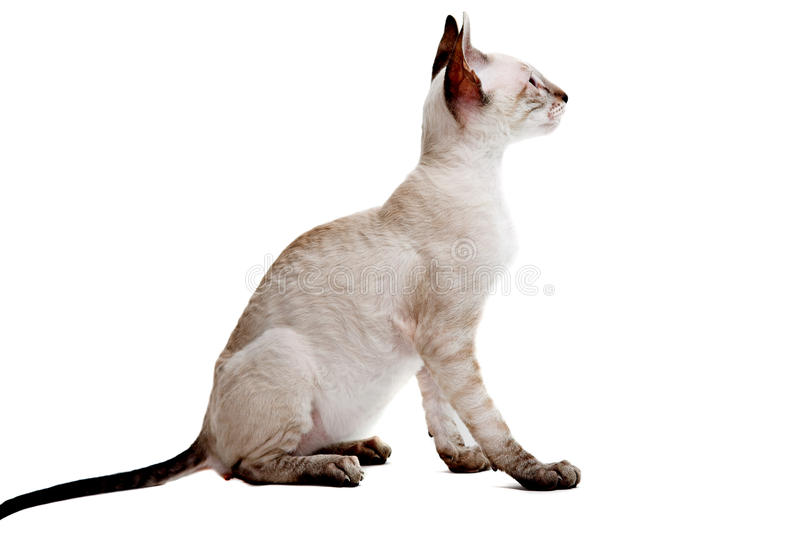 Download Cornish Rex stock image. Image of aloof, face, carnivore - 26501173