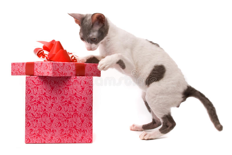 Cornish rex cat. Looking in gift box on a white background royalty free stock image