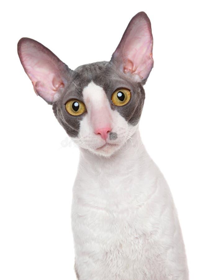 Cornish-Rex cat stock photo