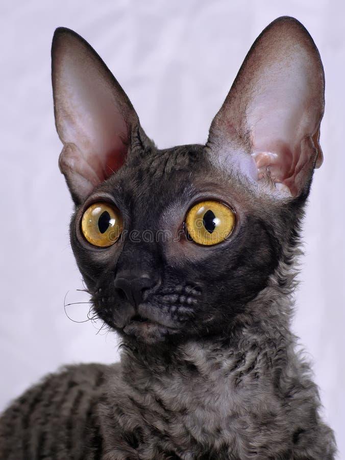 Download Cornish Rex cat stock image. Image of feline, rare, yellow - 9439447