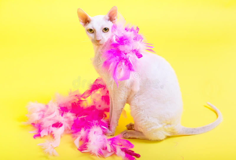 Download Cornish REx Stock Photos - Image: 32358493