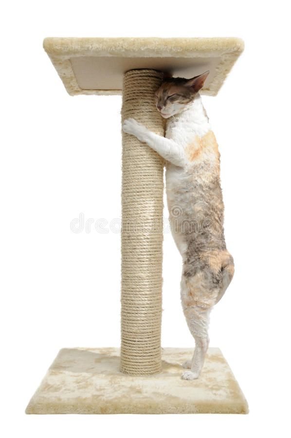 Cornish Rex Cat and Scratching Post royalty free stock photo