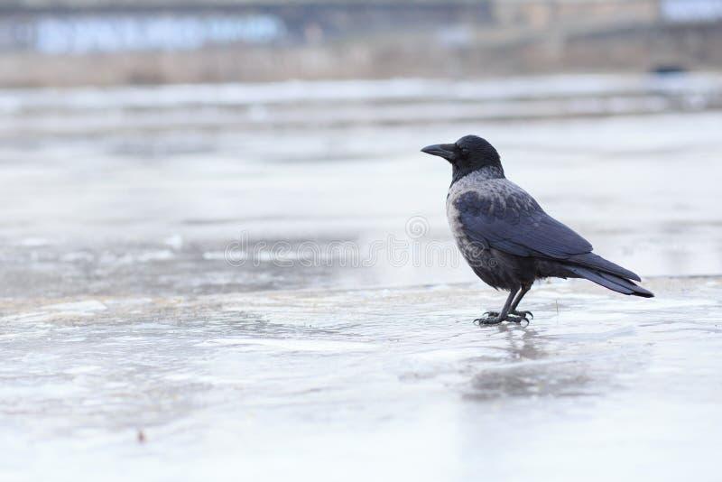 cornix corvus wrona okapturzał obraz royalty free