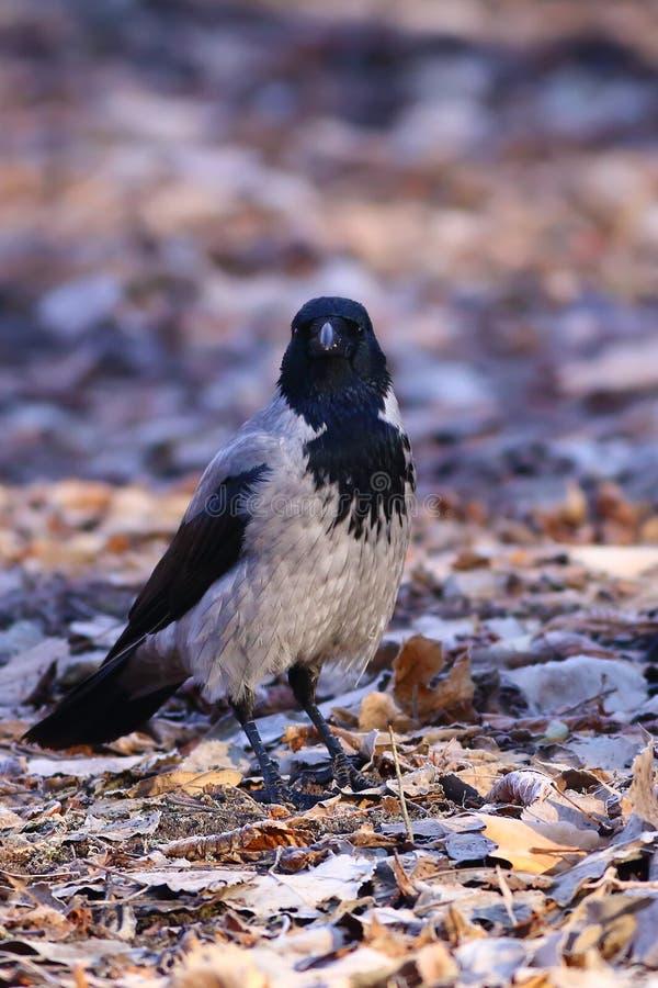 cornix corvus wrona okapturzał zdjęcia royalty free