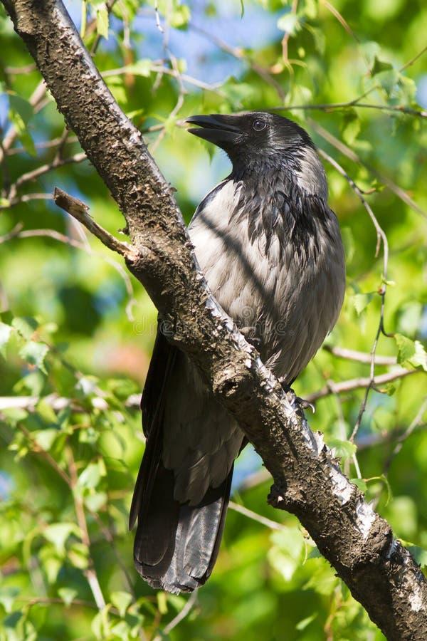 cornix corvus wrona okapturzająca zdjęcie royalty free
