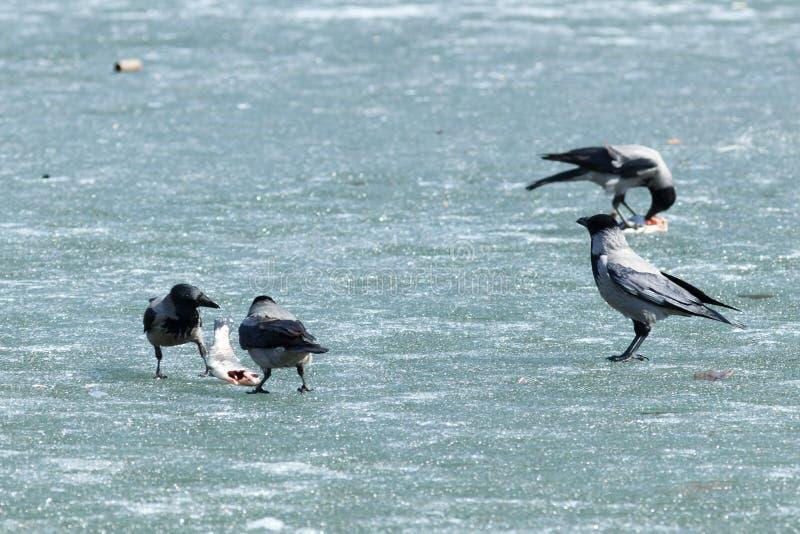 cornix corvus wrona okapturzająca obraz royalty free