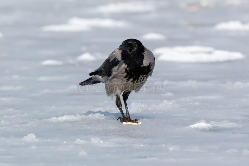 Cornix encapuchado del Corvus del cuervo fotografía de archivo