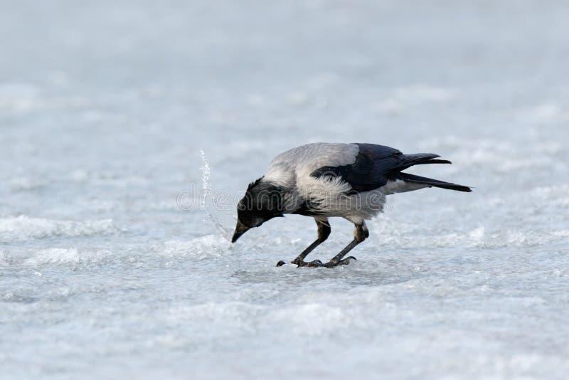 Cornix encapuchado del Corvus del cuervo imagen de archivo libre de regalías